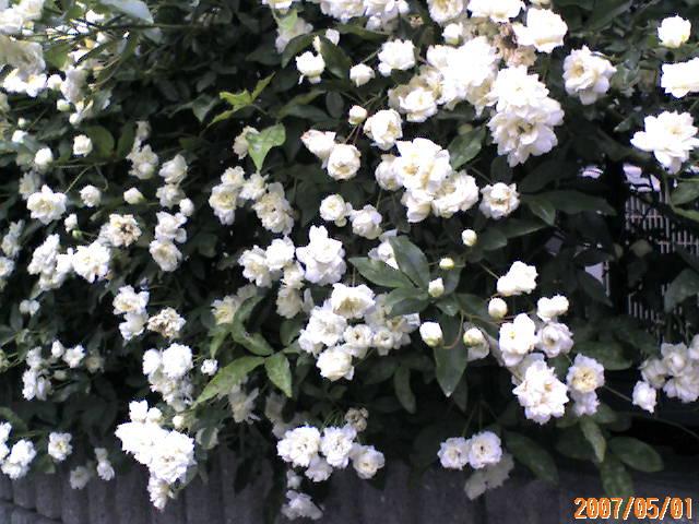 白のモッコウバラ